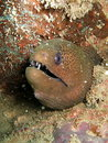 Spotted moray eel Stock Photo