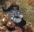 Spotted Moray Eel Close-up Stock Photo