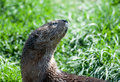 Spotted necked otter close up of a Stock Photos