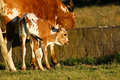Spotted nguni calf cute brown and white at a farm in south africa Stock Image