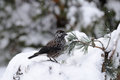 Spotted nutcracker on the snowdrift in winter forest Royalty Free Stock Photo