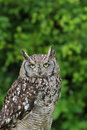 Spotted owl a portrait of a Stock Photo