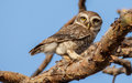 Spotted owlet athene brama in the garden they roost in small groups in the hollows of trees or in cavities in rocks or buildings Royalty Free Stock Photos