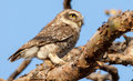 Spotted owlet athene brama in the garden they roost in small groups in the hollows of trees or in cavities in rocks or buildings Royalty Free Stock Photo