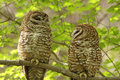 Spotted Owls Royalty Free Stock Photo