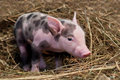 Spotted pig sitting on hay Royalty Free Stock Image