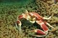 Spotted Porcelain Crab