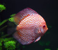 Spotted red discus fish Royalty Free Stock Photo
