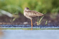 Spotted redshank falling asleep standing on one foot Stock Photos