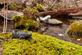 Spotted salamander approaching vernal pool breeding season Stock Photo