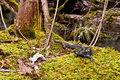 Spotted salamander sitting bed moss Royalty Free Stock Image