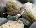 Spotted sandpiper actitis macularius a handsome migratory shorebird standing on rocks peru the bird has spots and is in breeding Stock Image