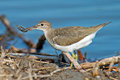 Spotted Sandpiper With Crab Royalty Free Stock Image