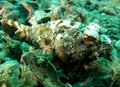 Spotted Scorpionfish Royalty Free Stock Image