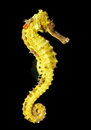 Spotted seahorse hippocampus kuda a close up shot of the beautiful swimming isolated on black Stock Photos