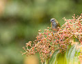 A Spotted Tanager under the rain Stock Photography