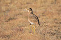 Spotted thick-knee Royalty Free Stock Photo