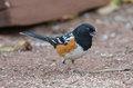 Spotted towhee standing over bird seed in colorado Royalty Free Stock Image