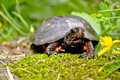 Spotted Turtle Royalty Free Stock Photo