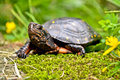 Spotted turtle a walking on moss by flowers Stock Images