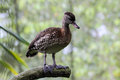 Spotted whistling duck shot the unusual Royalty Free Stock Photos