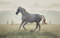 Spotted white horse running through the meadow green Royalty Free Stock Images