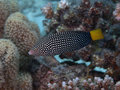 Spotted wrasse in red sea Royalty Free Stock Photo