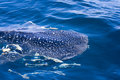 Spotting a whale shark Royalty Free Stock Photography