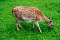 Spotty deer Royalty Free Stock Photo
