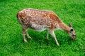 Spotty deer Stock Photography