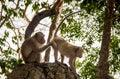 spouse of monkey