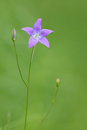 Spreading bellflower in the green meadow Royalty Free Stock Photo