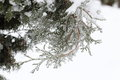 Sprig arborvitae close up after the ice storm, rain.