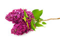 Sprig of blossoming lilac isolated on white Royalty Free Stock Photo