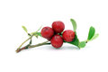 Sprig with cowberry and leaves red green Stock Photography