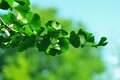 Sprig ginkgo biloba natural background Stock Images