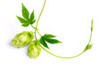 Sprig of hop horizontally branch hops an ingredient for beer Royalty Free Stock Photo