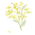 Sprig of Mimosa, Spring Watercolor Background Royalty Free Stock Photo