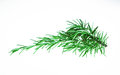 Sprig of rosemary Royalty Free Stock Photo