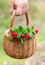 Sprigs of cowberry in the basket Royalty Free Stock Photo