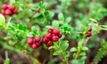 Sprigs of ripe berries in the forest. Cranberries Royalty Free Stock Photo