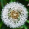 Closeup of dandelion top Royalty Free Stock Photo
