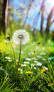 Spring and allergic concept dandelion spores Stock Photography