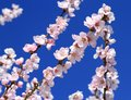 Spring almond tree flowers in deep blue background Stock Image