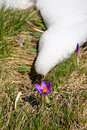 Spring in the alps new born flowers crocus and melting snow close up and shallow depth of field location western gran paradiso Royalty Free Stock Photo