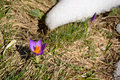 Spring in the alps new born flowers crocus and melting snow close up and shallow depth of field location western gran paradiso Royalty Free Stock Photos