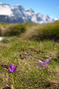 Spring in the alps selective focus on new born flowers crocus foreground and snowcapped mountain range background shallow depth of Royalty Free Stock Images
