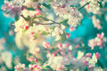 Spring apple blossom over blue sky Royalty Free Stock Photo