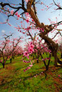 Spring Apple Blossoms Stock Images