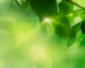 Spring apple leaf background nature concept with sun beams coming through Royalty Free Stock Photo
